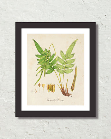 British Fern No. 3 Botanical Art Print