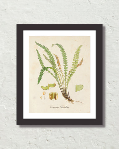 British Fern No. 4 Botanical Art Print