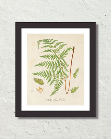 British Fern No. 5 Botanical Art Print