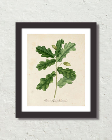 Vintage French Oak Botanical Art No. 15 Art Print
