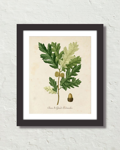 Vintage French Oak Botanical Art No. 16 Art Print