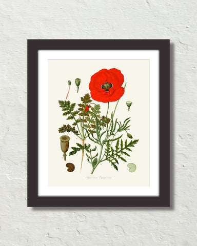 Vintage Red Poppy Art Print