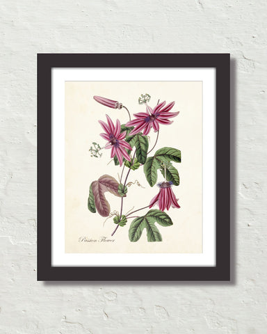 Vintage Passion Flower No. 38 Botanical Art Print