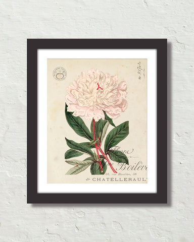 Vintage French Peony No. 2 Collage Botanical Art Print