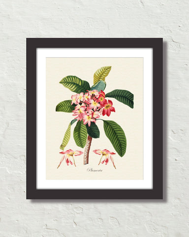 Vintage Tropical Plumeria Botanical Art Print