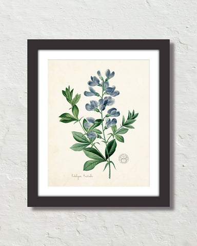 Podalyria Astralus No. 2 Antique Botanical Art Print