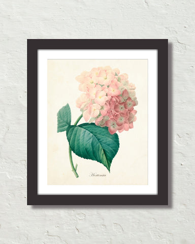 Vintage French Pink Hydrangea Hortensia Art Print