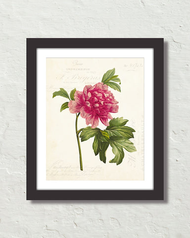 French Mountain Peony Collage Botanical Art Print
