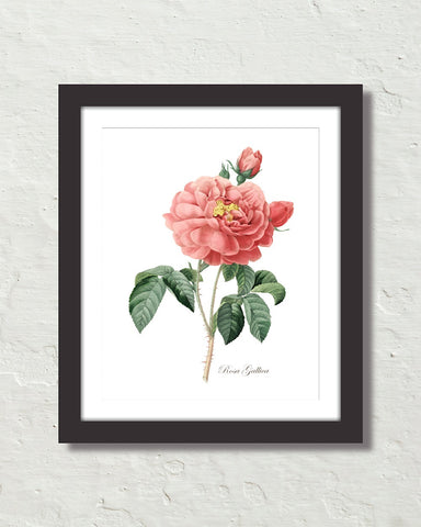 Vintage Rosa Gallica No. 12 Botanical Art Print