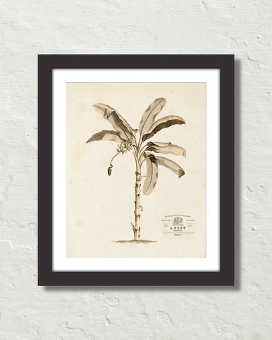 Vintage French Banana Palm Tree No. 1 Sepia Tint Art Print