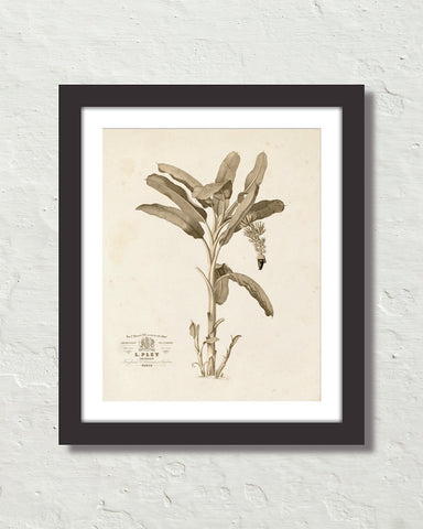 Vintage French Banana Palm Tree No. 2 Sepia Tint Art Print