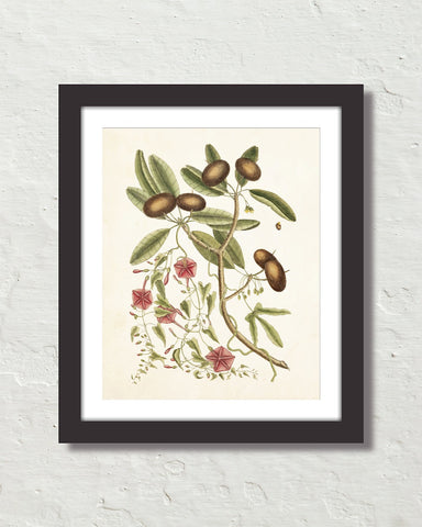 Catesby Botanical Print No. 87 Art Print