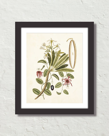 Catesby Botanical Print No. 93 Art Print