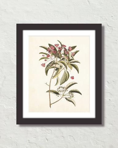 Catesby Botanical Print No. 98 Art Print