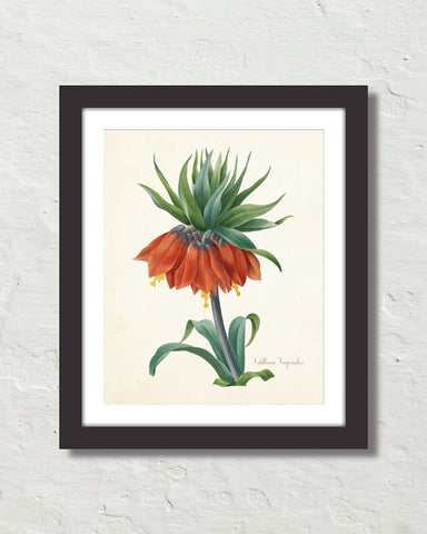 Fritillaria Imperialise Antique Botanical Art Print