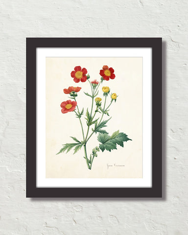 Geum Coccineum Antique Botanical Art Print