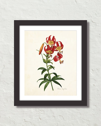 Lilium Superbum Antique Botanical Art Print