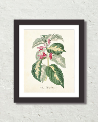 Vintage Sage Leaf Stachya No. 72 Botanical Art Print
