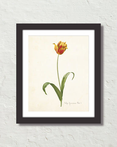 Antique Botanical Tulip No. 11 Art Print