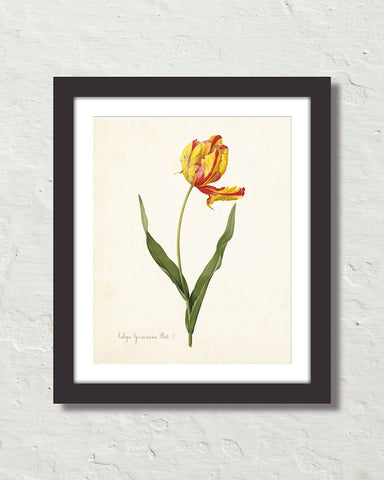 Antique Botanical Tulip No. 22 Art Print