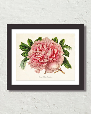 Paeonia Arborea Alexandre Antique Botanical Art Print