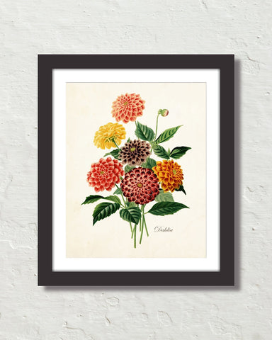 Antique Botancial French Dahlias Giclee Art Print