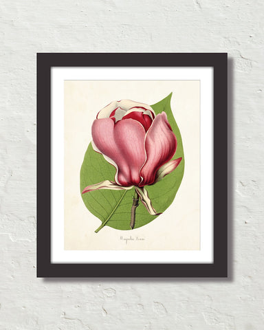 French Magnolia Lenne Giclee Art Print