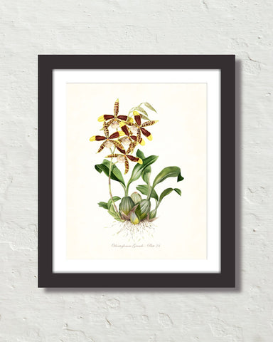 Vintage Orchid Flower Series No. 24 Art Print