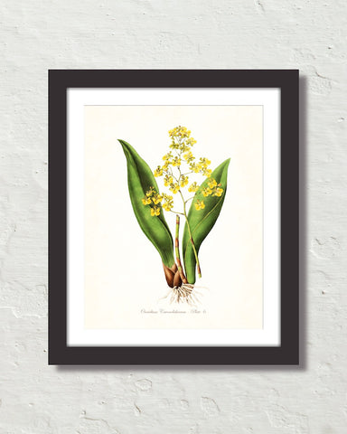 Vintage Orchid Flower Series No. 6 Art Print