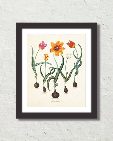 Antique Botanical Tulip No. 1 Giclee Art Print