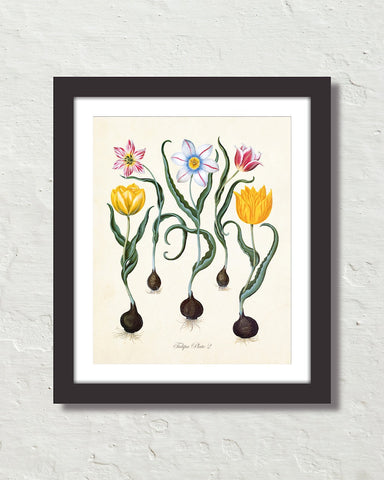 Antique Botanical Tulip No. 2 Giclee Art Print