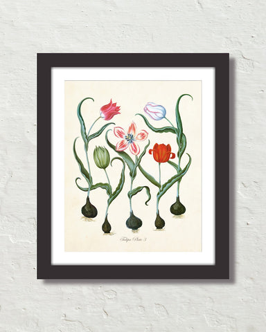 Antique Botanical Tulip No. 3 Giclee Art Print