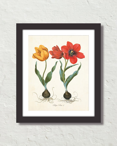 Antique Botanical Tulip No. 4 Giclee Art Print