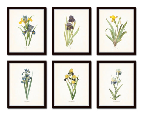 Antique Iris Floral Botanical Print Set No. 1