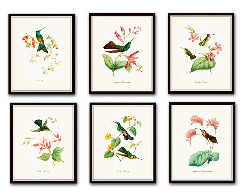 Hummingbird Print Set 1 - Giclee Art Bird Prints – Belle Maison Art