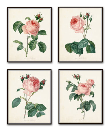 Redoute Roses Botanical Print Set No. 1 - Botanical Print Set