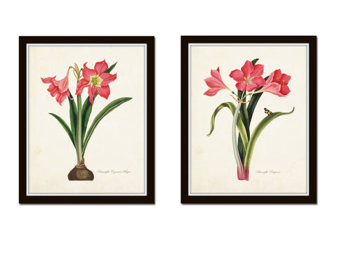 Amaryllis Botanical Print Set No. 2