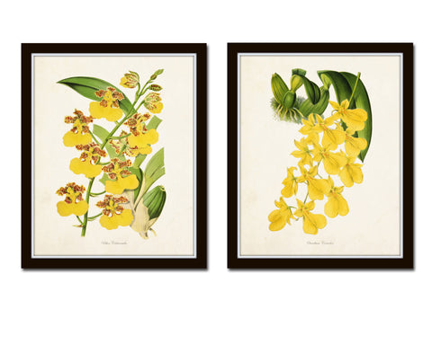 Yellow Orchid Print Set No. 2