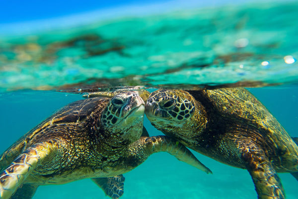Honu Kiss Clark Little Photography