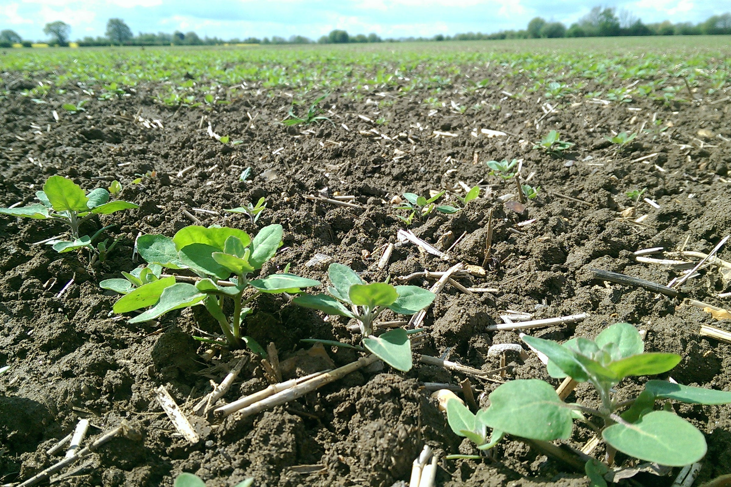 British Quinoa seedlings in an Essex field