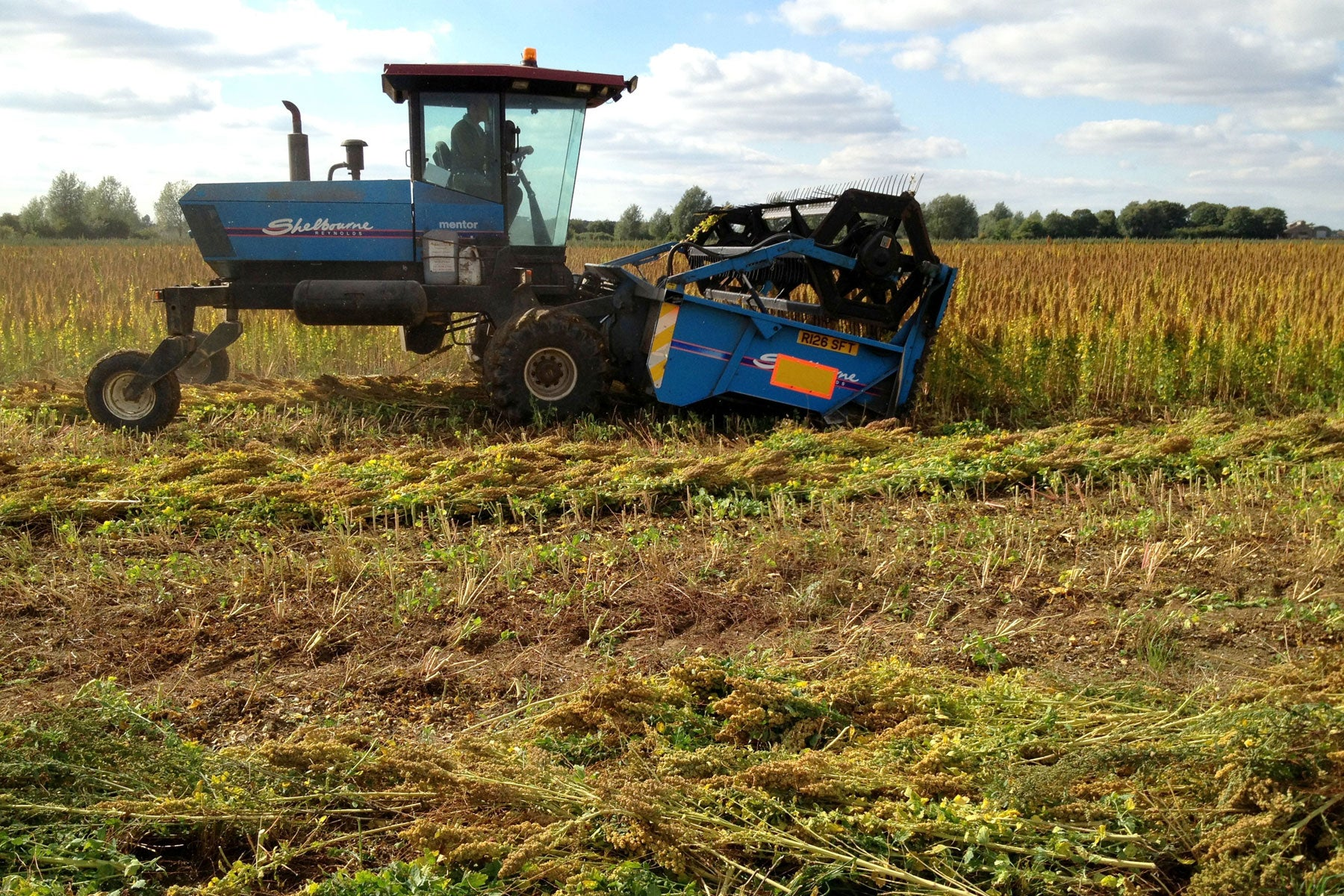 Swathing quinoa for harvest in September