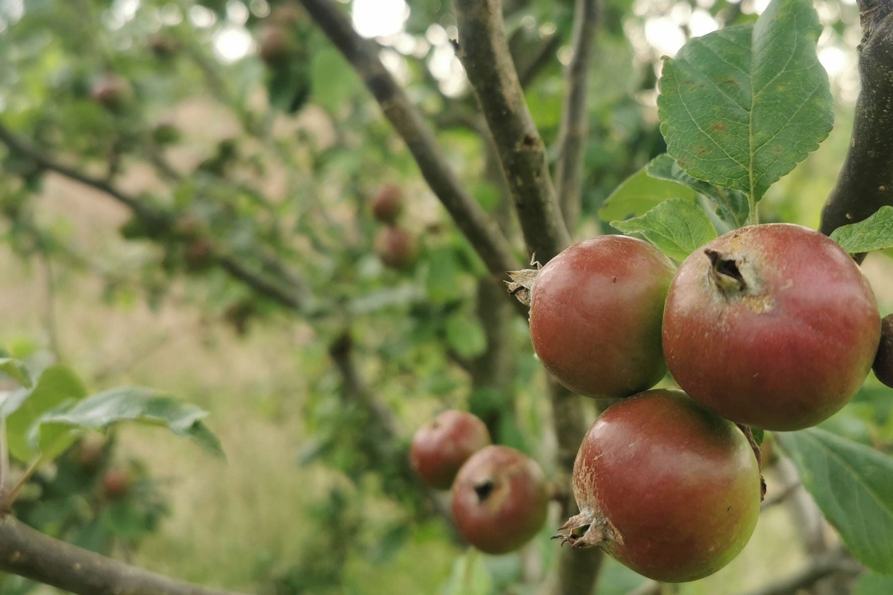 Apple Natural orchard of heritage Cornish apples