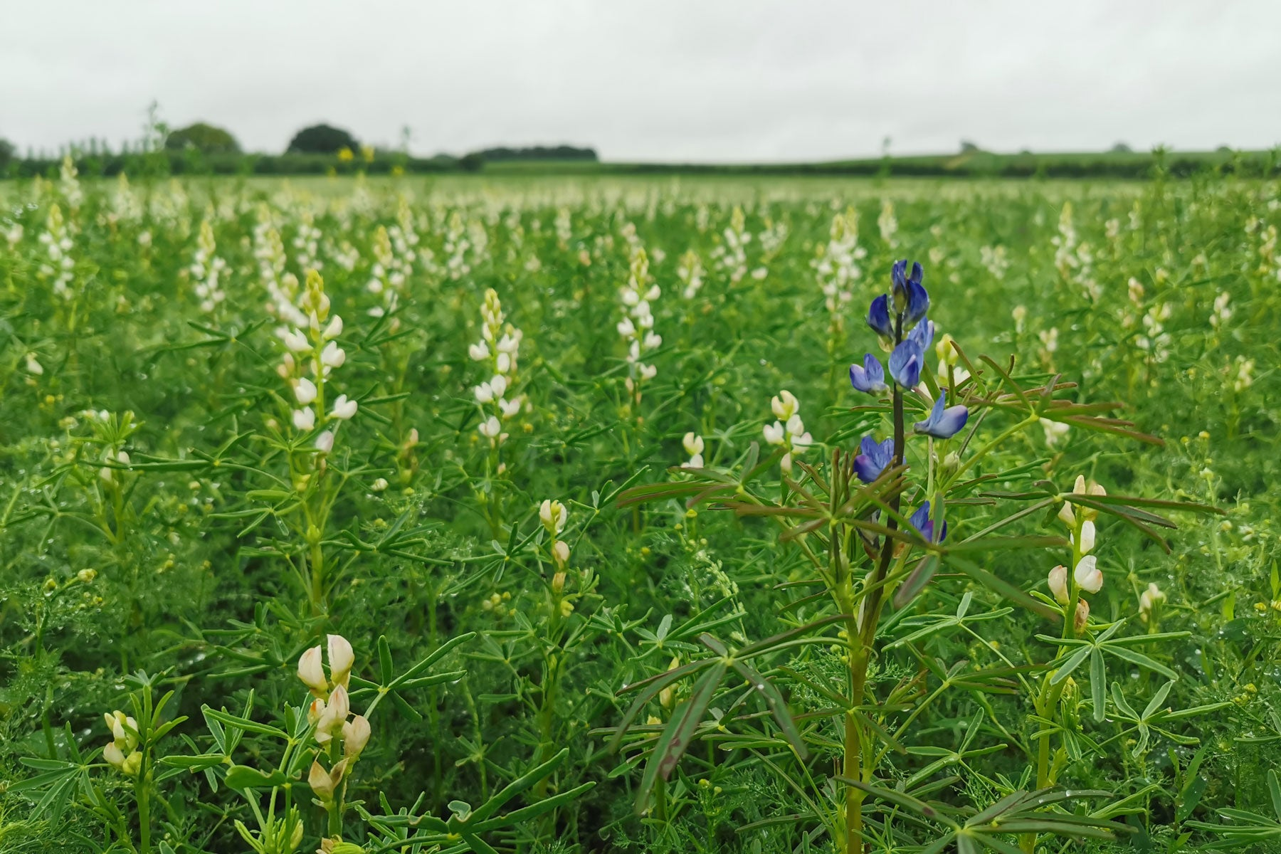 Lupins at Goltheney Farm