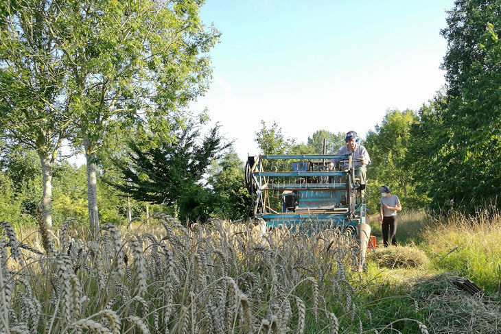 Martin Wolfe harvesting a trial plot of YQ Population Wheat in one of the crop aisles at Wakelyns Agroforestry, Summer 2017