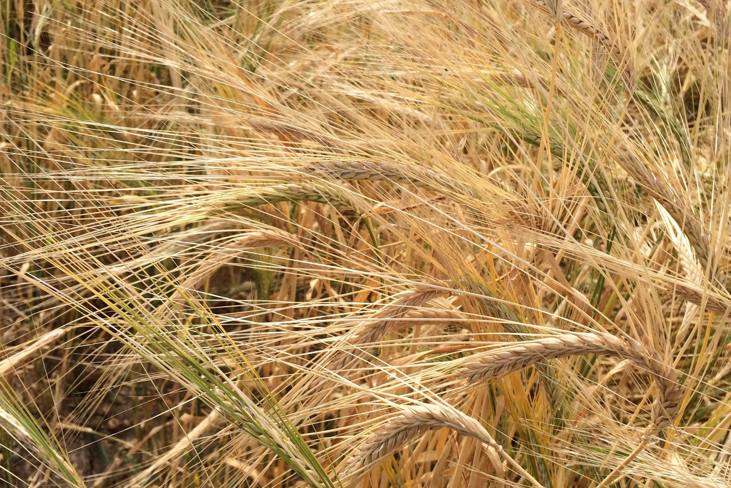 A ripening field of organic naked barley