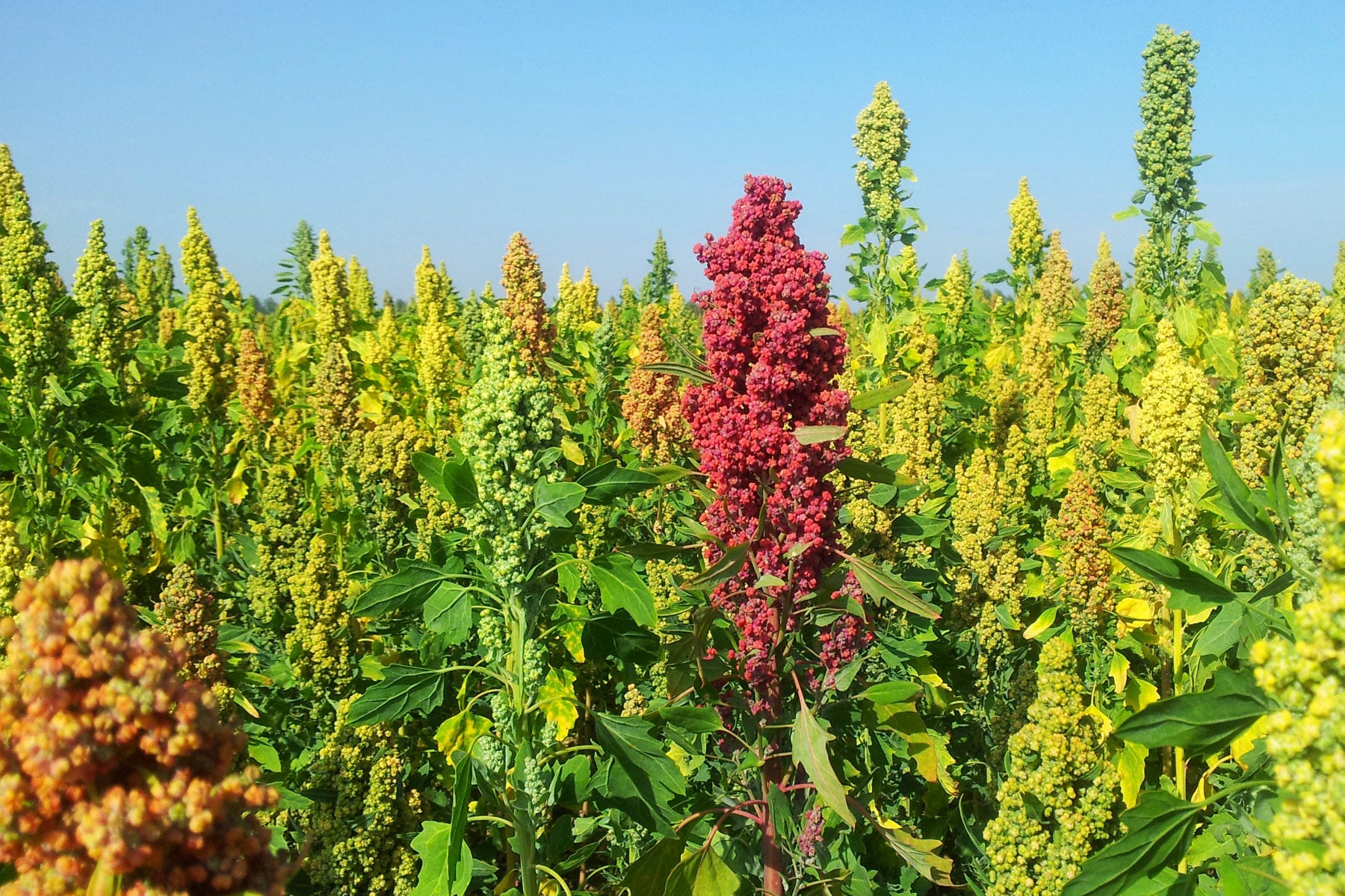 Colourful ripening quinoa on Peter Fairs' Essex farm