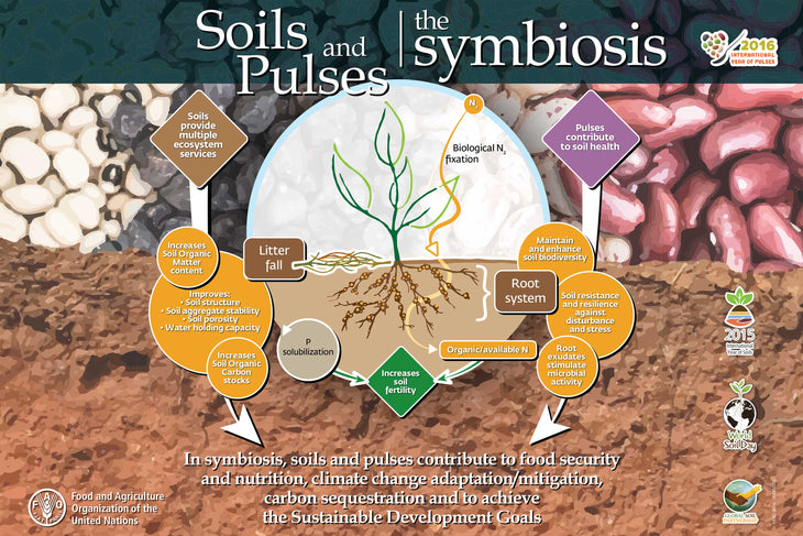 Soils and Pulses, a Symbiosis for Life
