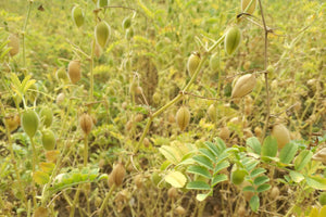 British Chickpeas - Hodmedod's British Pulses & Grains