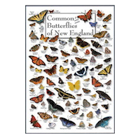 Common (& some exotic) Butterflies of New England