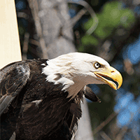 Bald Eagle Monitoring and Management